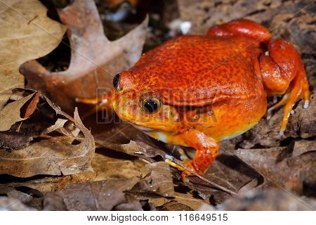 The False Tomato Frog Dyscophus Guineti In Terrarium