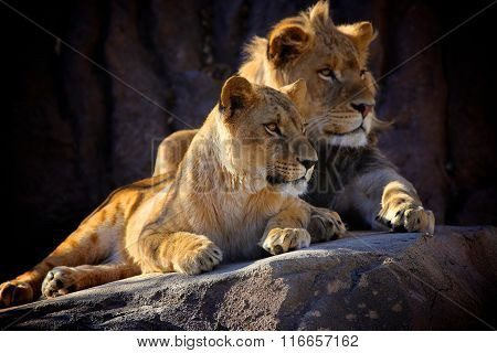 Two Young African Lions