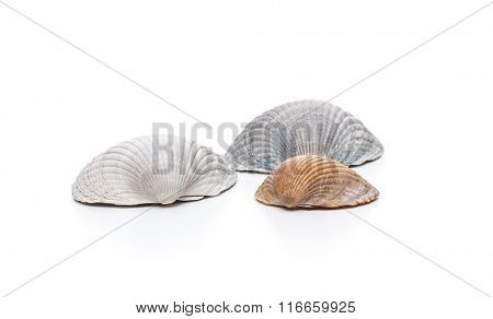 Fine conches on white background
