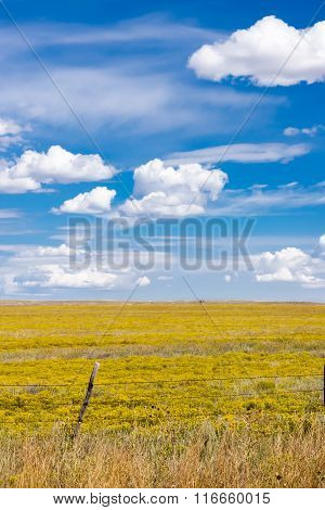 Bright Yellow Arizona Farmland Stretching To Horizon And Intense Blue Sky With White Puffy Cumulus