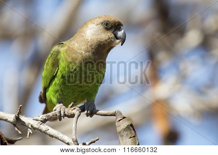 Brown Headed Parrot Sitting On A Branch