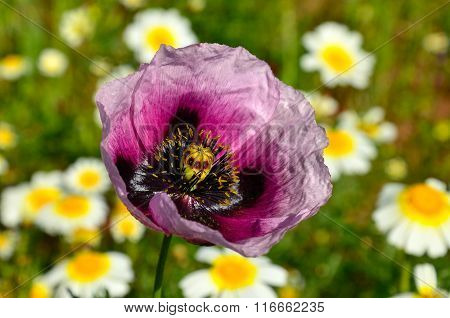 Pink poppy isolated