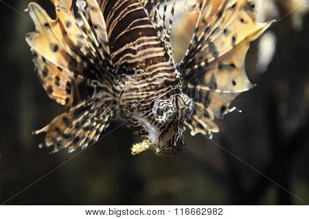 Eyes fish lionfish