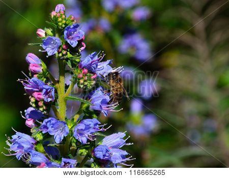 Bee on echium flowers