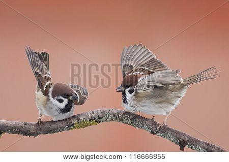 birds sparrows  in spring