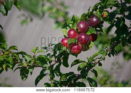 Branch red plums.
