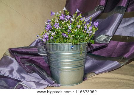 Harebell In A Pot