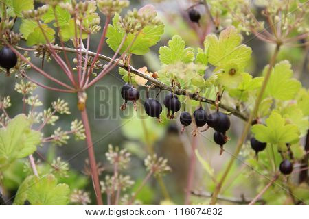 Black gooseberry and dill umbels