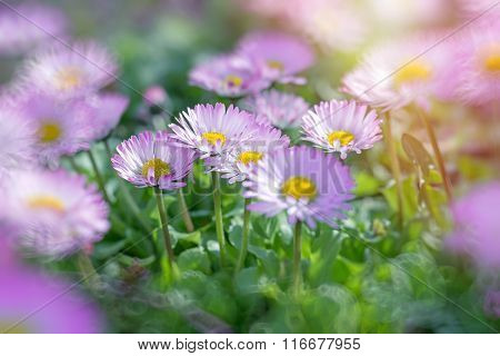 Daisy flowers with purple petals