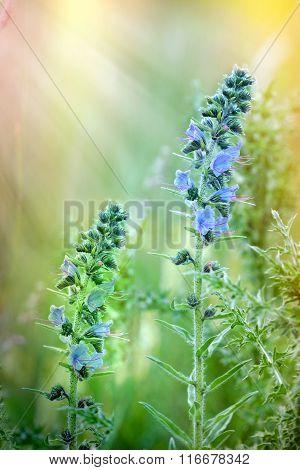 Blooming - flowering wild flower in meadow