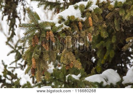 Spruce branches with cones under snow in the winter forest