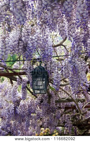 Live canopy of wisteria