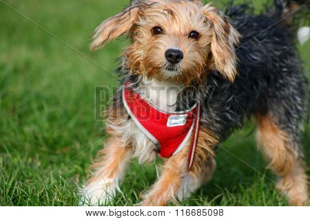 Puppy in a red harness