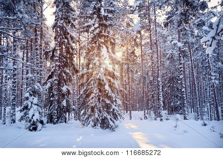 Pine and Fir tree forest in beautiful morning light