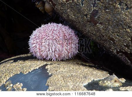 Common Sea Urchin (Echinus Esculentus)