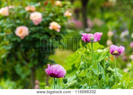 Pink Poppy In A Summer Garden On Sunny Day