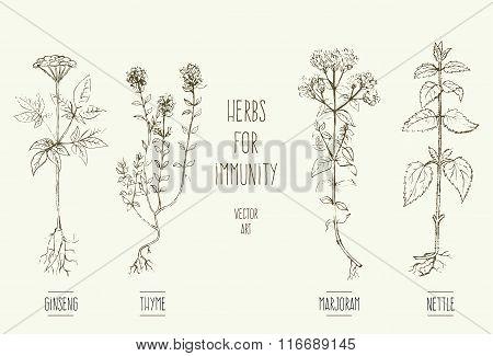 Herbs improving immune system