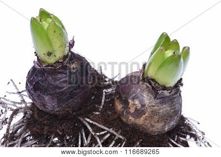 Closeup of hyacinth bulbs