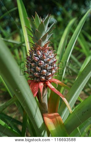 Image of pineapple growing on farm. Thailand