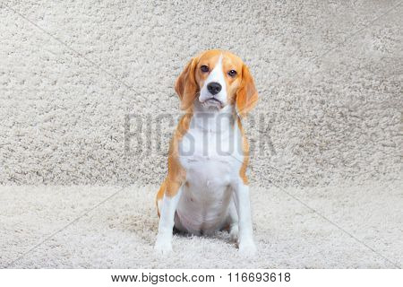 Beagle Dog At Home