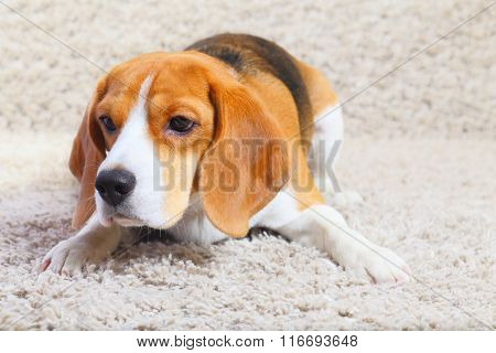 Beagle Dog Is Ready To Jump