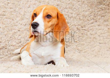 Beagle On The Carpet