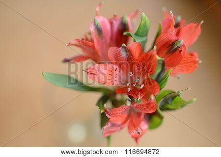 Beautiful spring alstroemeria of flowers macro on background
