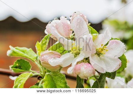 Flowers Of Apple Tree In The Spring Rain