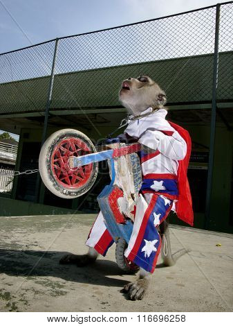 A macaque monkey dressed as Evel Knievel in a stars-and-stripes pulls a wheelie in Jakarta, Java