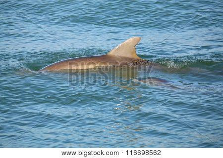 Mother And Baby Common Bottlenose Dolphins Swimming