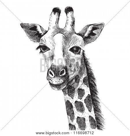 Hand drawn black and white giraffe portrait