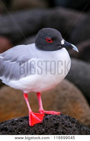 Swallow-tailed Gull On North Seymour Island, Galapagos National Park, Ecuador