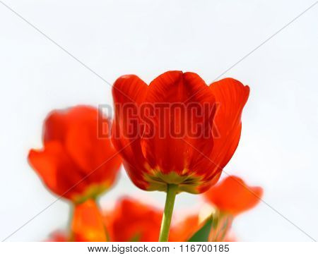 Beautiful Red Tulips on the White Background