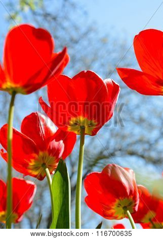 Beautiful Red Tulips in the Field under Spring Sky in Bright Sunlight