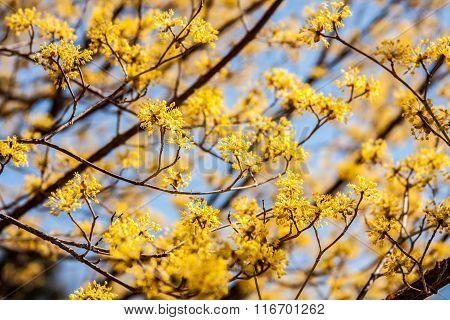 Cornelian Cherry Blossoms