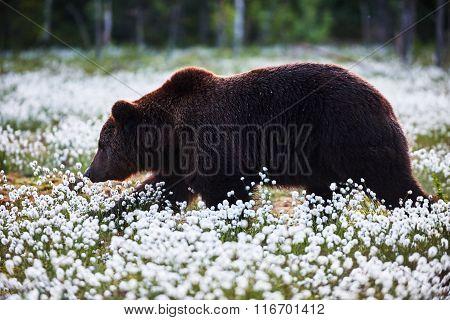 Brown Bear Between The Cotton Grass