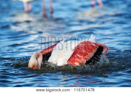 Beautiful Flamingo Takes A Bath