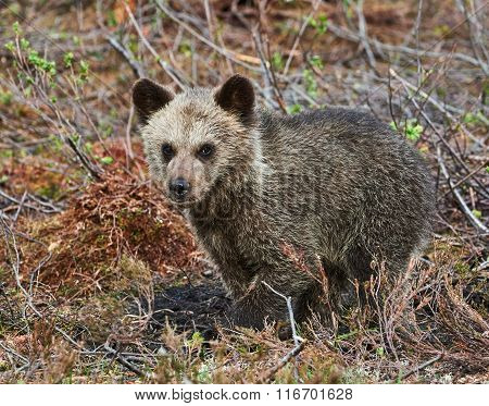 Little Cub Of Brown Bear