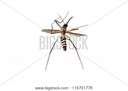 Dead Mosquito On White Background
