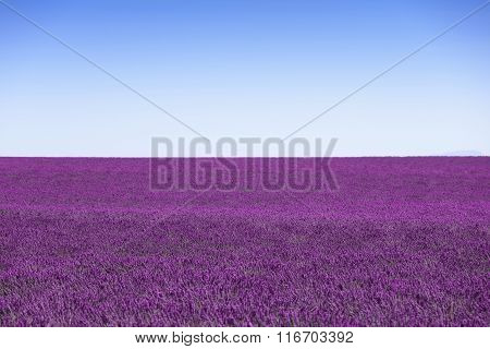 Lavender Flowers Blooming Field Horizon As Background, Pattern Or Texture. Provence, France.