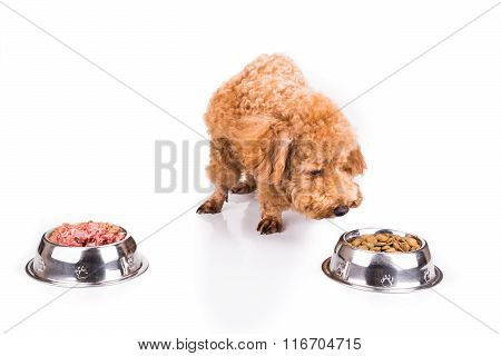 Poodle Dog Choosing Between Raw Meat Or Dried Pellets As Meal
