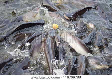 Pangasius Fish Are Compete For Food In Water. - Selective Focus