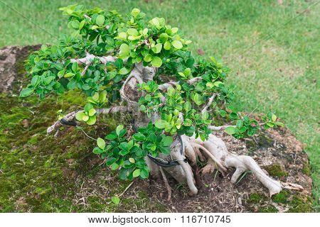 the beautiful bonsai