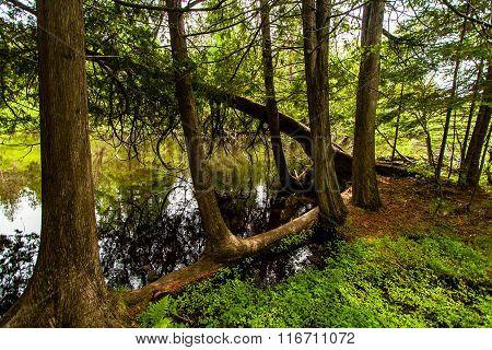 White Cedars Along The Bois Brule River