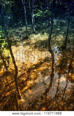 Flooded trees in mangrove rain forest. Thailand