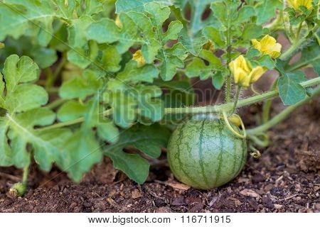 Organic Watermelon Vine