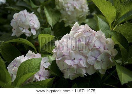 hydrangeas in full bloom