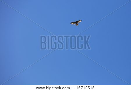 Flying Hawk At The Batiquitos Lagoon
