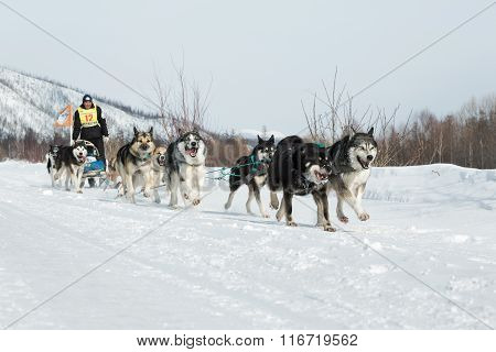 Kamchatka Extreme Sled Dog Racing Beringia. Russia, Far East
