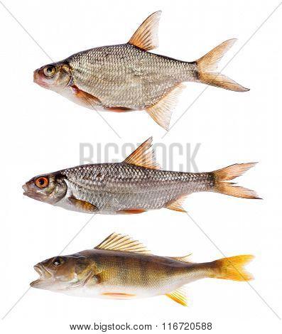 set of three freshwater fishes isolated on white background